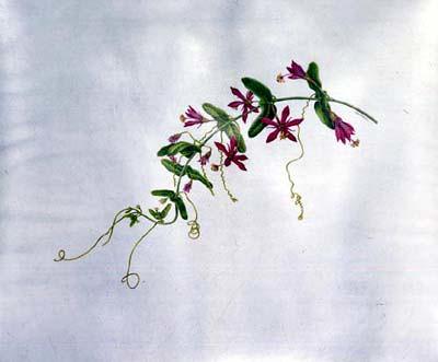 Carol Woodin, Passiflora perfoliata 2/7/03 © Copyright Brooklyn Botanic Garden