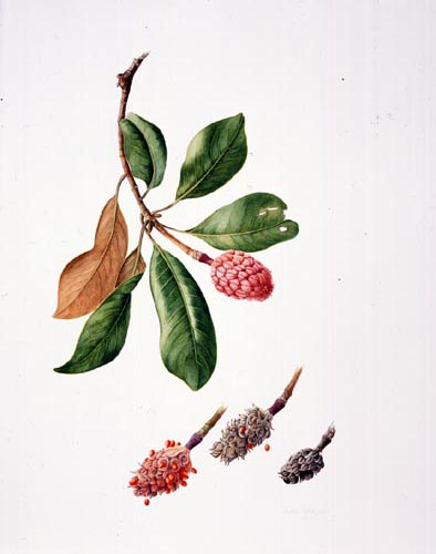 Jessica Tcherepnine, Magnolia grandiflora Watercolor, 4/11/02 © Copyright Brooklyn Botanic Garden