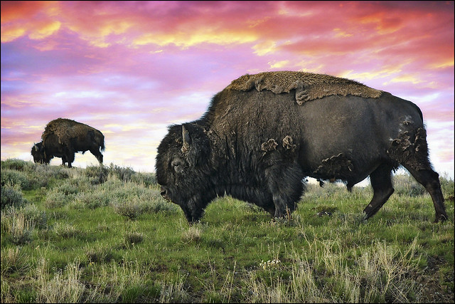 yellowstone buffalo & bison