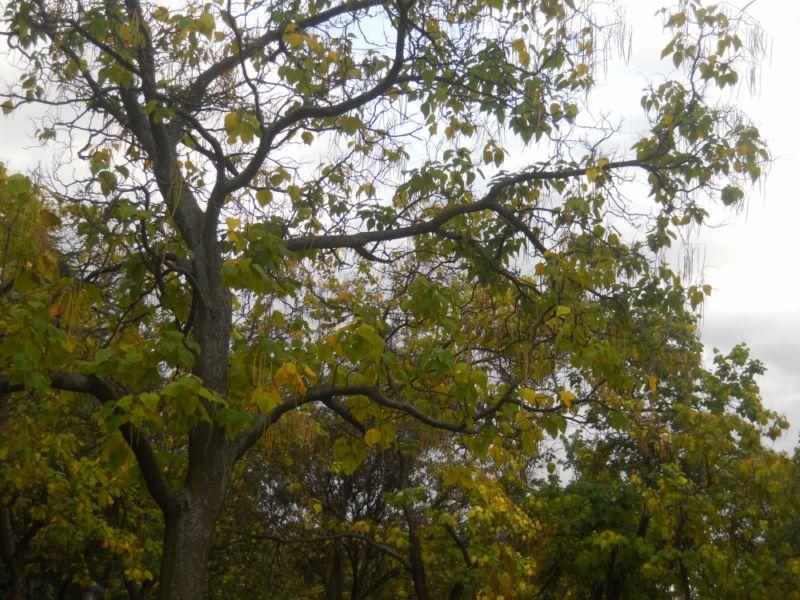 Catalpas en otoño 1