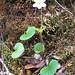 Viola kauaensis