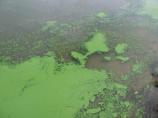 Algal Bloom