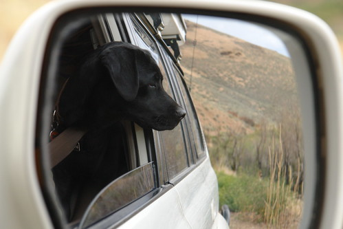 portrait dog reflection puppy labrador desert nevada profile rearviewmirror toyota blacklab labradorretriever landcruiser cima pinstripes wickiupcanyon brueggerlab nevadastan2010