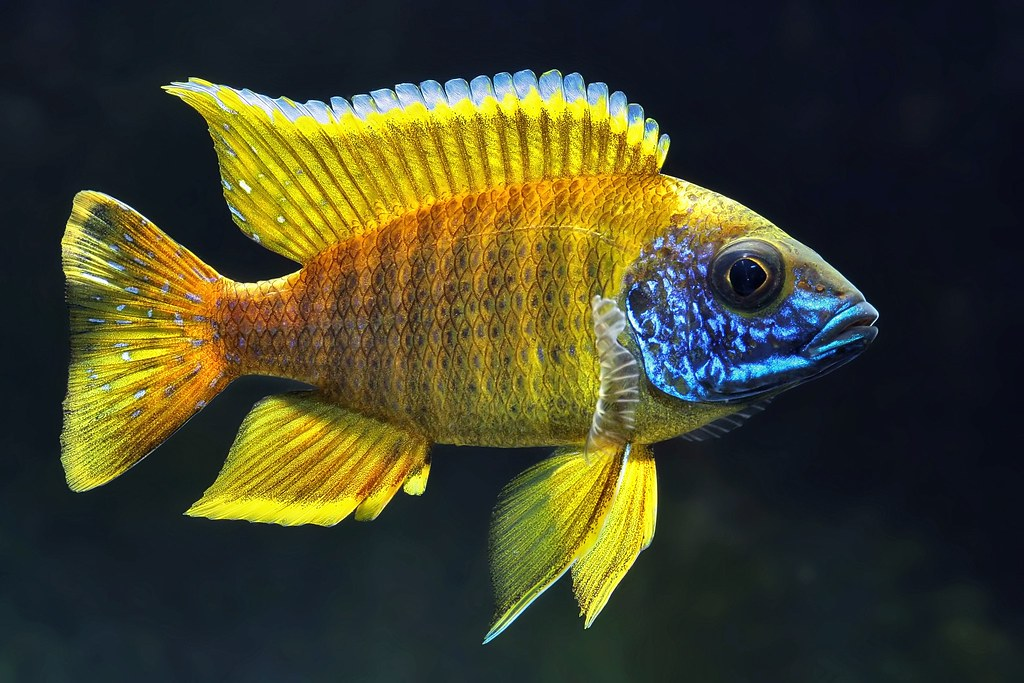 1000 Images About African Cichlids On Pinterest