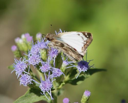 butterfly tx skipper lepidoptera hidalgocounty esterollanograndestatepark lavianawhiteskipper heliopeteslaviana esterollanogrande