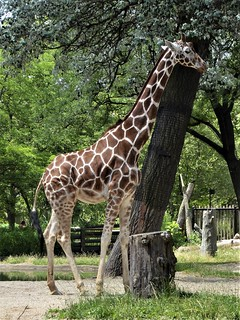 Brookfield, IL, Brookfield Zoo, Giraffe