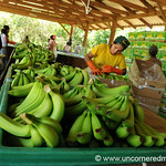 Banana Packing - Chapare, Bolivia