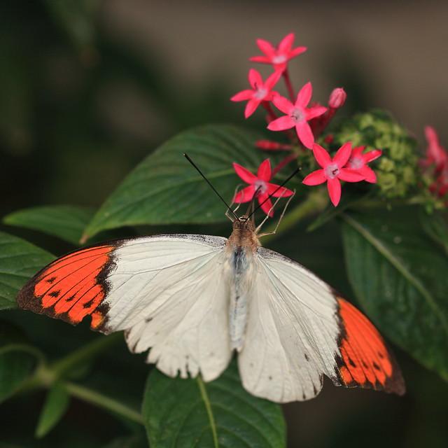Great Orange Tip / Hebomoia glaucippe / 褄紅蝶(ツマベニチョウ)