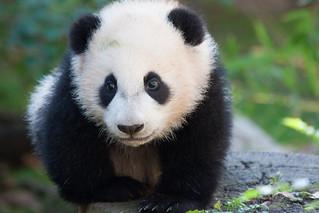 Baby panda Yun Zi