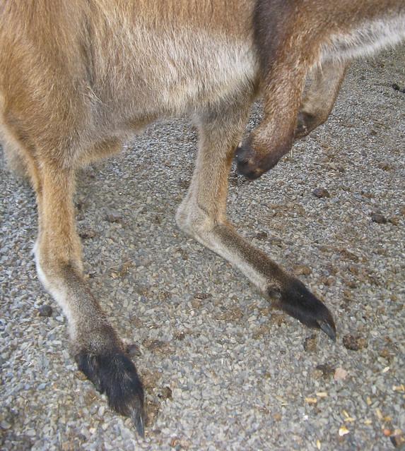 Kangaroo Feet Flickr Photo Sharing