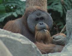 animal, orangutan, mammal, great ape, gorilla, fauna, ape, wildlife,