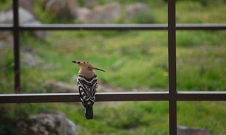Hoopoe, seen in Amman, Jordan