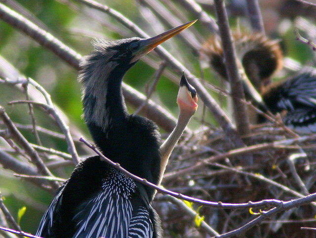Anhinga chick hungry 20100301