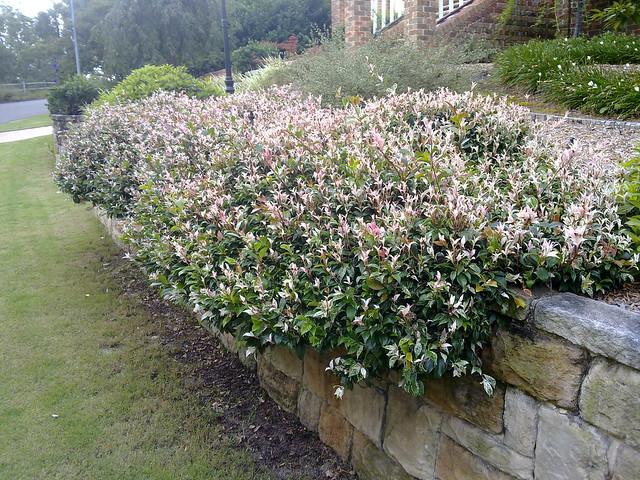 """Trachelospermum jasminoides """"Tricolor"""""""