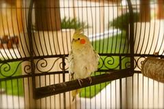 parrot(0.0), parakeet(0.0), cockatoo(1.0), animal(1.0), pet(1.0), fauna(1.0), finch(1.0), cockatiel(1.0), beak(1.0), bird(1.0),