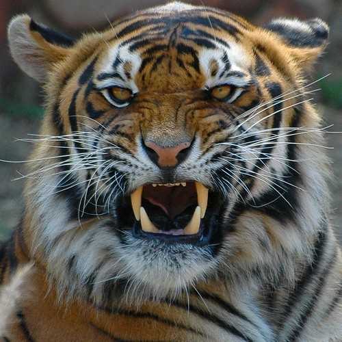 Terrific Pictures of Roaring Tigers - photo#4