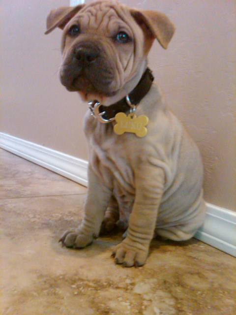 Shar Pei Pitbull Mix | Flickr - Photo Sharing!