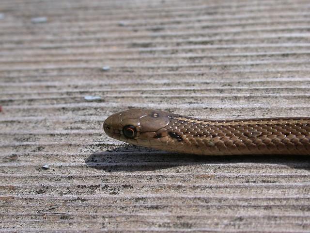 Short-headed Garter Snake (Thamnophis brachystoma) w/ two ...