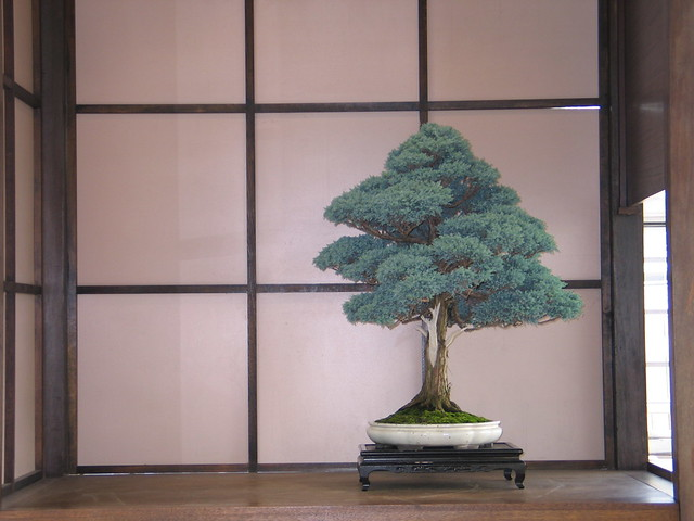 "Chamaecyparis pisifera ""Squarrosa"" in the bonsai museum's Tokanoma (alcove)."