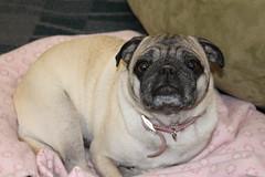 puppy(0.0), toy bulldog(0.0), dog breed(1.0), animal(1.0), dog(1.0), pet(1.0), carnivoran(1.0), pug(1.0),