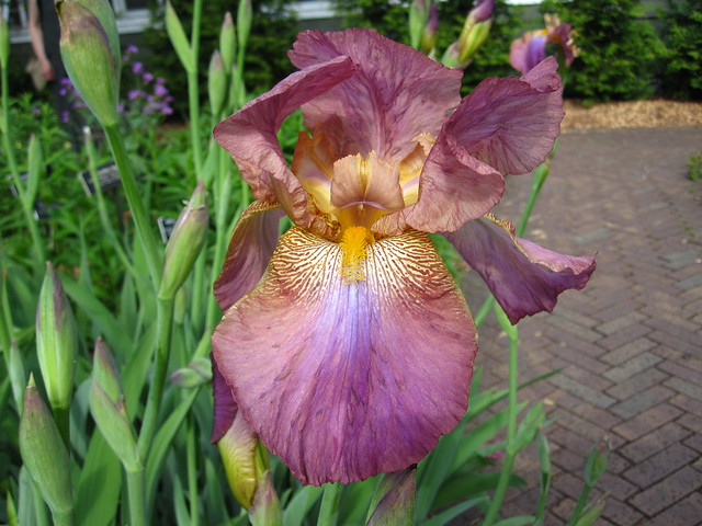 Tall Bearded Iris 'Mulberry' is in bloom in the perennial border of Lily Pool Terrace. Photo by Rebecca Bullene.