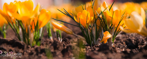 light flower nature landscape petals spring nikon earth crocus dirt bloom crocuses d90 18105mm