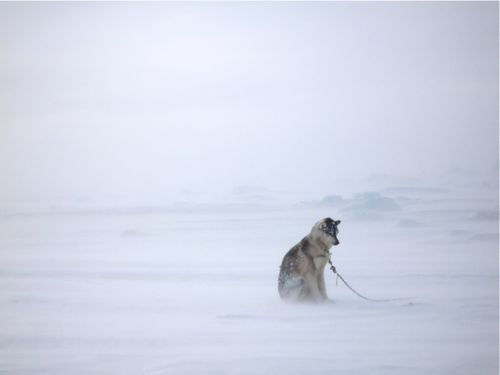 Husky Dog in the Arctic