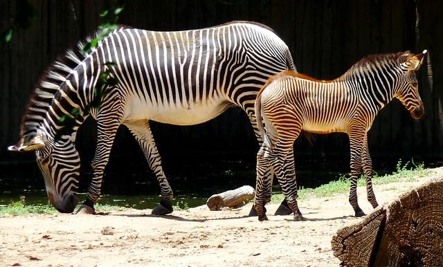 Zebras, mare with foal, Sedgewick County, KS