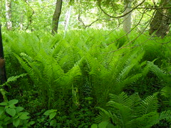 woodland, vascular plant, fern, rainforest, leaf, tree, plant, old-growth forest, green, forest, ostrich fern, jungle, plant stem, biome, vegetation, temperate broadleaf and mixed forest, temperate coniferous forest,