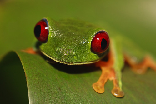 Grenouille aux yeux rouges / Red-eyed tree frog