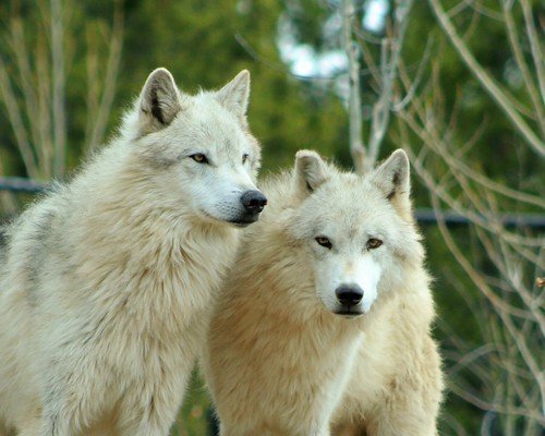 Pair of Wolves by kimpossible pics