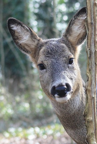 Roe Doe peeking by Jochen Langbein