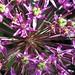 Small photo of Allium