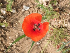 annual plant, flower, leaf, plant, nature, macro photography, wildflower, flora, produce, coquelicot, petal, poppy,