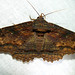 Lunate Zale Moth - Photo (c) Audrey Hoff, some rights reserved (CC BY-NC-ND)