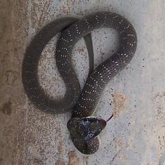 Herald Snake - Crotaphopeltis hotamboeia 1b