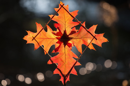 Red Oak Leaf Fire Star