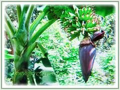 A budding Musa acuminata (Dwarf Cavendish Banana, Ornamental Banana, Pisang Serendah), 6 July 2017