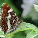 Map Butterfly- Araschnia levana by linanjohn