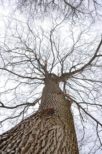 winter sky brown snow tree up contrast season grey maple december pattern bare branches bark mortonarboretum upatree