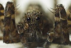 honey bee(0.0), bee(0.0), arthropod(1.0), animal(1.0), spider(1.0), invertebrate(1.0), insect(1.0), macro photography(1.0), fauna(1.0), close-up(1.0), tarantula(1.0), wolf spider(1.0),