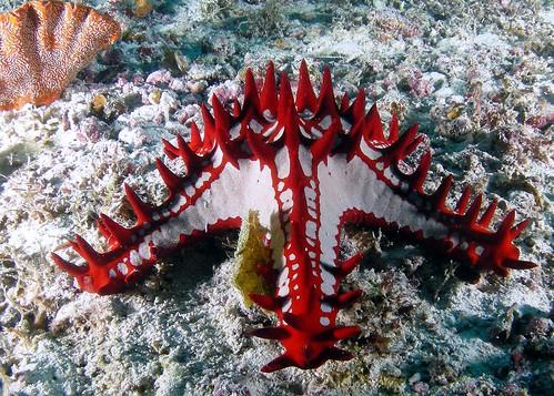 Zanzibar Starfish