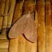 Small photo of Argina argus.Noctuidae. Arctiinae.Arctiini