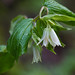 largeflower fairybells - Photo (c) randomtruth, some rights reserved (CC BY-NC-SA)