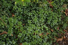 annual plant, leaf, herb, groundcover,