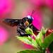 Carpenter Bee - Explored by frozen stills