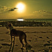 Andamans sunset dog...