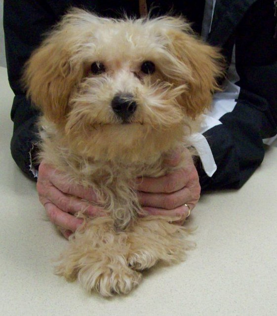 Shih Tzu Maltese Yorkie Mix F Poo R Sale | Dog Breeds Picture