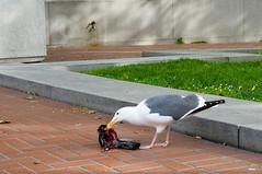 Sea gull eating pigeon