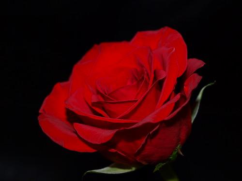 flowers roses rose olympus ros redroses e520 olympuse520 kinnahult peternyhlén